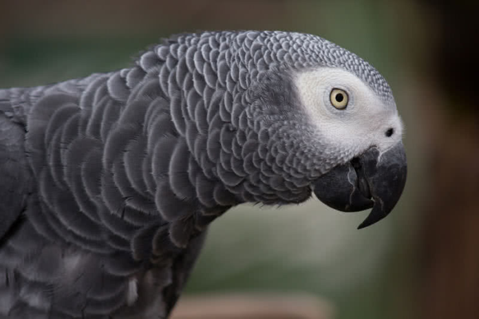 Best Parrot Breed for Talking