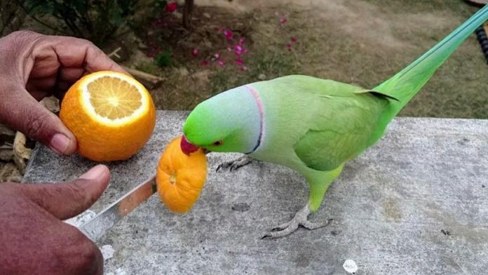 Can parrots eat oranges?